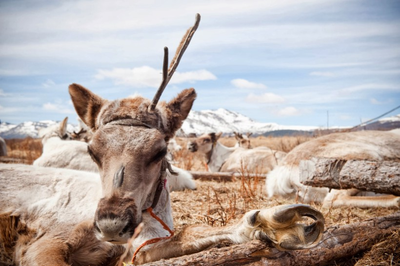 Le repos des rennes