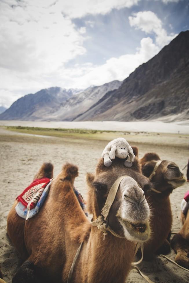 Beluga and the camels